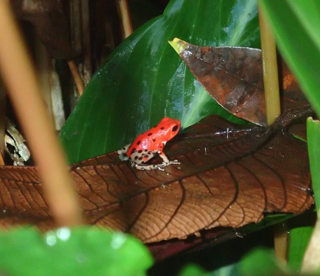 Red Frog-Bastimentos