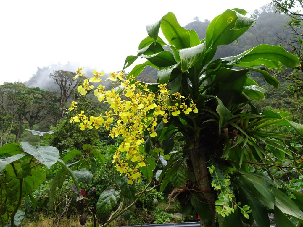 Orchid, Boquete