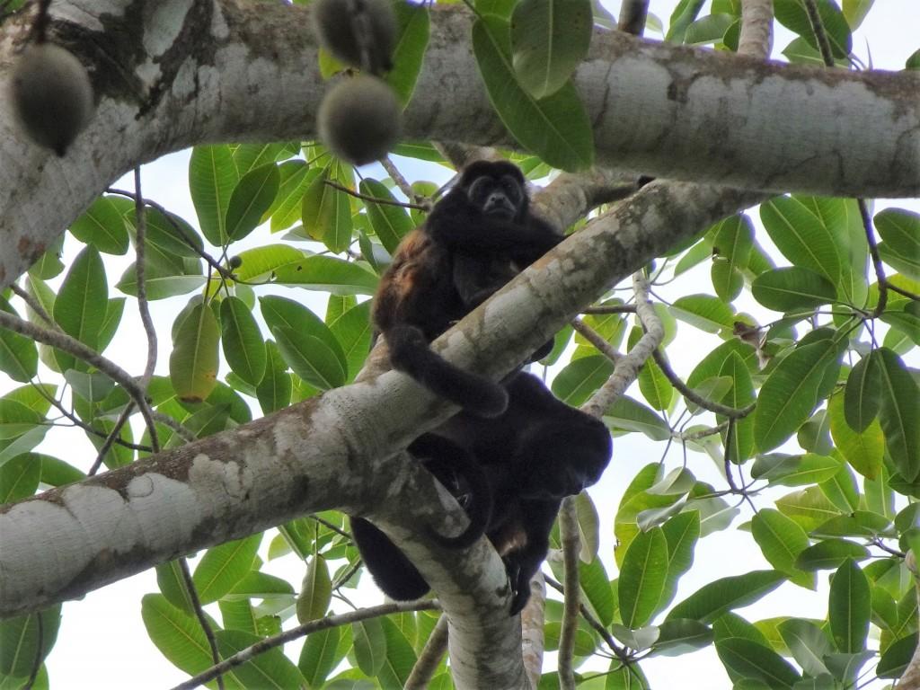 Howler Monkeys, Smithsonian Hike