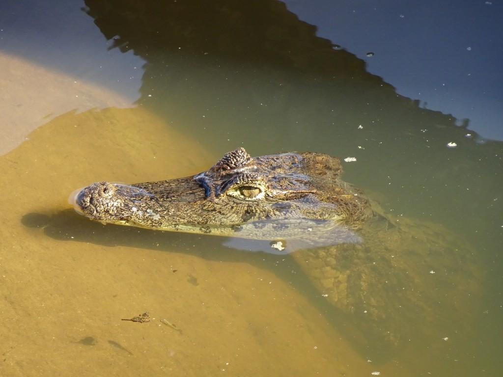 Croc-Bastimentos